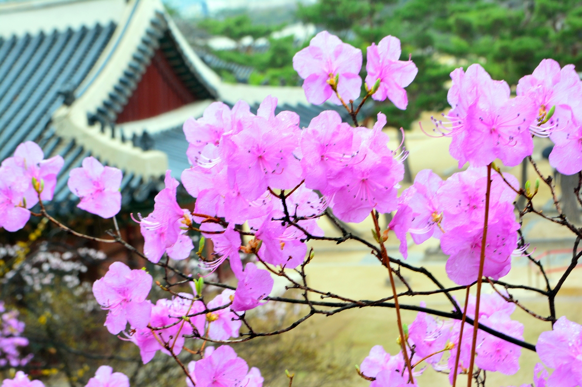 Alternative Seoul Itinerary: Changgyeonggung Palace—The Most Beautiful Palace in Spring
